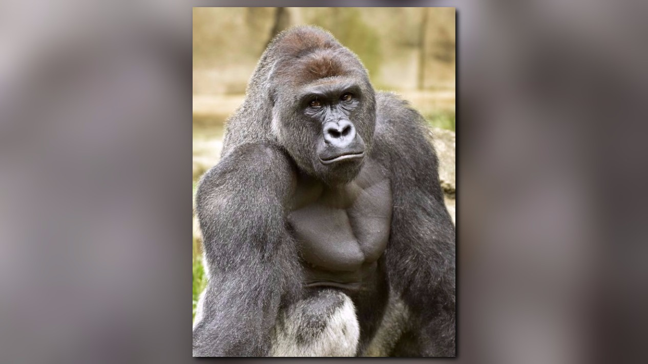 the contrasting perspectives on the death of harambe a cincinnati zoo gorilla The gladys porter zoo in brownsville, texas, where harambe spent most of his life, said monday that its staff was deeply saddened by the gorilla's death.