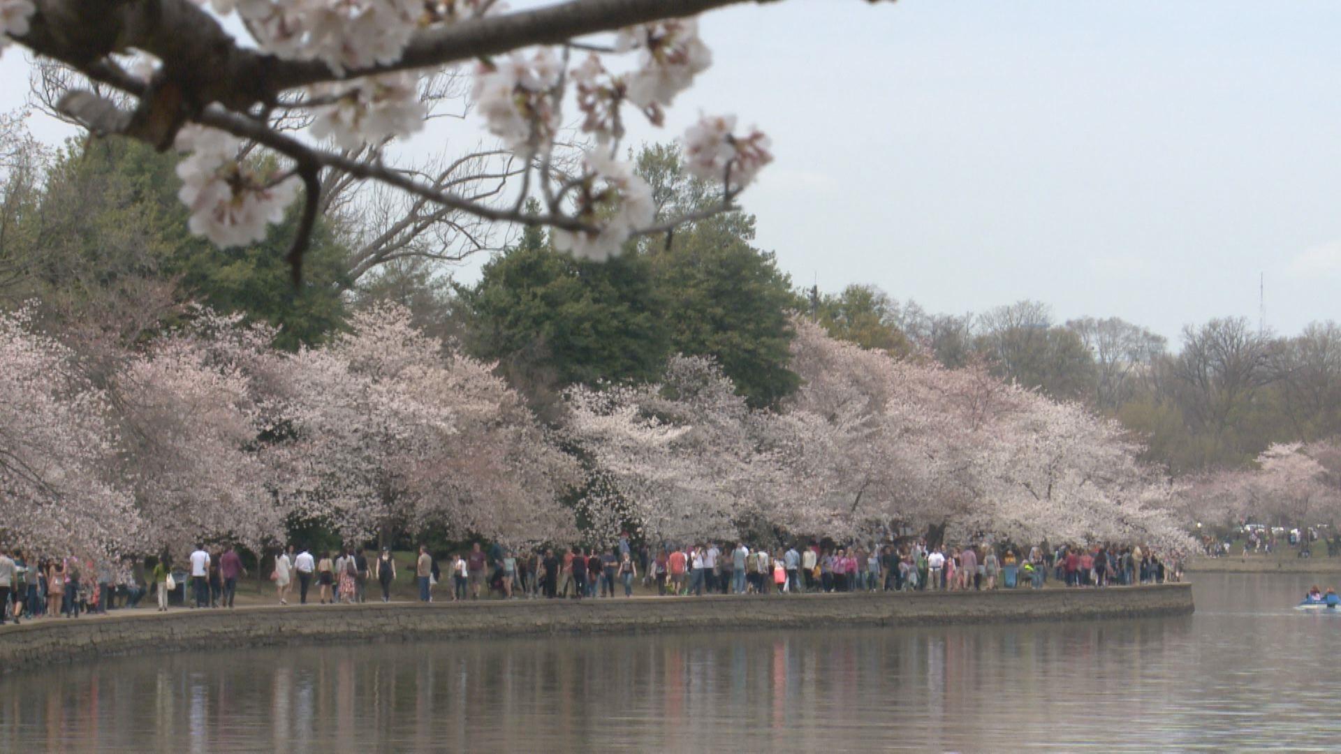 2017 Cherry blossoms peak bloom