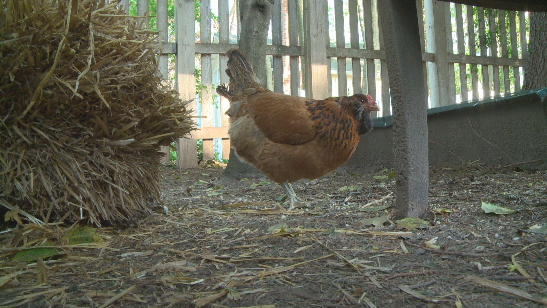 dc mayor wants to ban backyard chickens wusa9 com